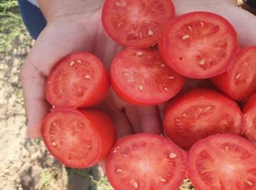 Pomidory full flash (niekapiące) - przegląd odmian