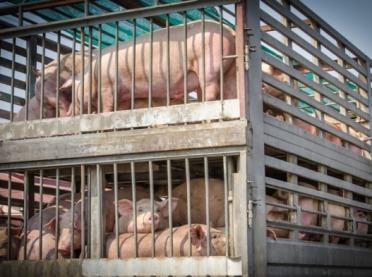 Kto skupi świnie z terenów ASF?