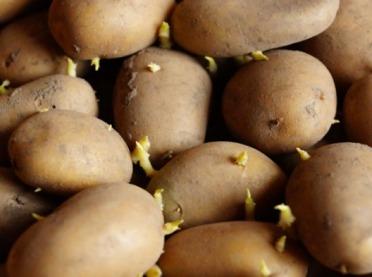 Jak poprawnie przeprowadzić podkiełkowywanie bulw ziemniaka?
