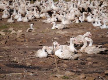Ptasia grypa także na Opolszczyźnie