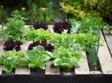 Allelopatia w warzywniku - dobre i złe sąsiedztwo warzyw