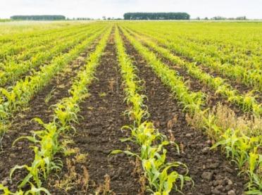 28 nowych odmian kukurydzy w Krajowym Rejestrze