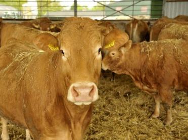 Utrzymanie bydła mięsnego - uwięziowe czy wolnostanowiskowe?