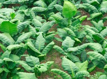 Uwaga producenci surowca tytoniowego!