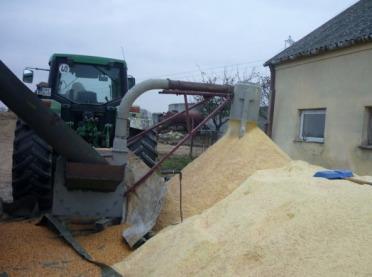 Kiszone ziarno kukurydzy w żywieniu trzody chlewnej