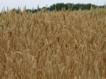 Jaka pszenica jara do uprawy ekologicznej?