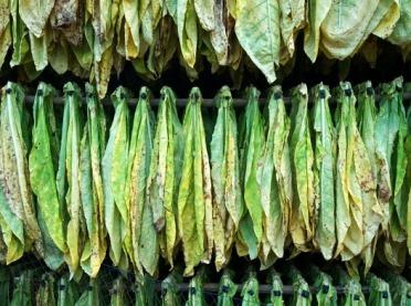 WAŻNA informacja dla producentów tytoniu!