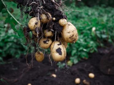 Covid-19 – co z sytuacją na rynku ziemniaka?