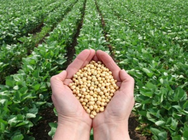 Uprawa soi na nasiona