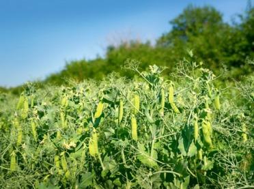 Strączkowe jako przedplon dla innych roślin