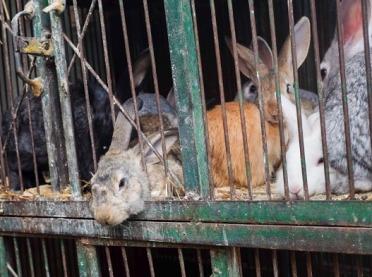 Trudny czas dla hodowców królików
