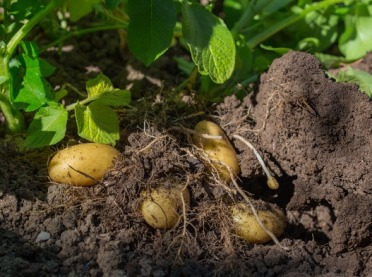 Ekologiczna uprawa ziemniaka - jak walczyć z chwastami?