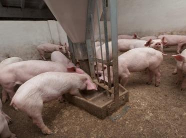 Kryzys na rynku wieprzowiny - rolnicy z Kujaw apelują o pomoc