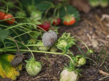Pogoda sprzyja szarej pleśni na truskawkach