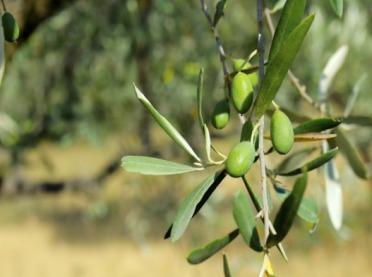 Kryzys COVID-19 zadaje kolejny cios europejskiemu sektorowi oliwy z oliwek
