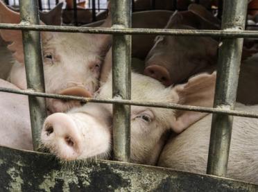 Czy będą dopłaty dla producentów świń ze stref niebieskich?