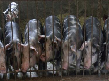 Mięso świń ras rodzimych - czy ma lepszą jakość?