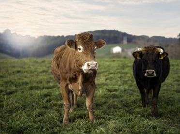800 tys. zł na rozwój bydła ekologicznego od Carrefour
