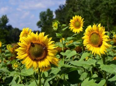 Uprawa słoneczników coraz bardziej popularna