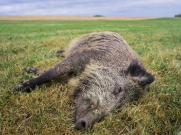 Co zrobić, gdy znajdziemy padłe zwierzę?
