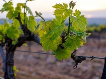 Winorośl - co warto wiedzieć o uprawie?
