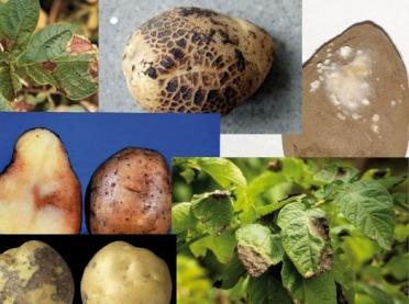 Choroby grzybowe na plantacjach ziemniaków