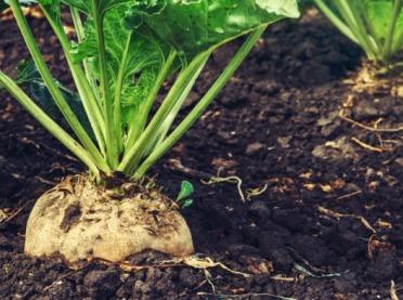Rolnictwo zrównoważone ważne dla plantatorów buraka cukrowego