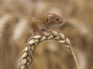 Gryzonie atakują pola! Dopłat do ubezpieczenia upraw nie będzie