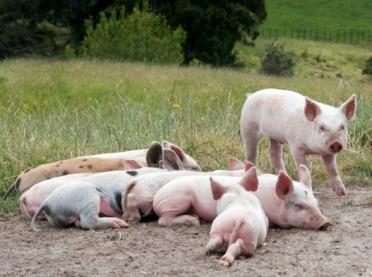 Utrzymanie świń na wybiegach a bioasekuracja