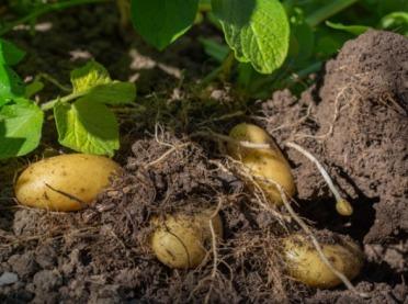 Projekt ZIEMNIAK POLSKI – wsparcie działalności rolników