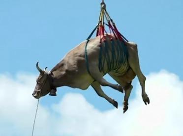 Ranna krowa przetransportowana śmigłowcem