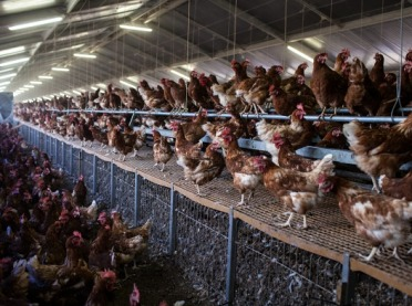 Batalia o to, kto będzie zwalczał salmonellę w stadach kurcząt