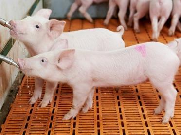 Do ARiMR po rekompensatę za zakaz produkcji świń