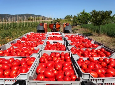 Pomidorów będzie mniej