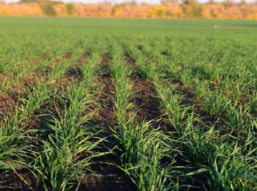 O czym pamiętać podczas nawożenia zbóż?