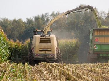 Jak dobrze zakisić kukurydzę?