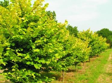 Ekspert radzi: jak założyć plantację leszczyny