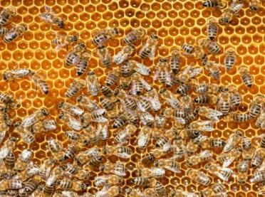 Nosemoza pszczół - choroba zaraźliwa pszczół dorosłych