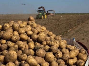 Dobre zbiory ziemniaków i buraków cukrowych