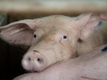 Jak ograniczyć agresję u świń?