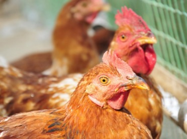Ostrzeżenie dla Polski! Chodzi o ptasią grypę