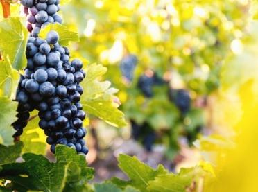 Uwaga producenci i przedsiębiorcy wyrabiający wino - pamiętajcie o tej dacie!