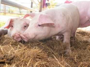 KZPPTCh: Brak widocznych impulsów do szybkiej poprawy na rynku wieprzowiny