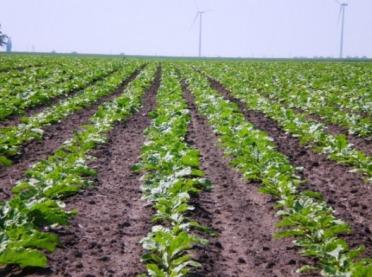 Czy uprawa buraków cukrowych jest opłacalna? Zobacz nasze kalkulacje!