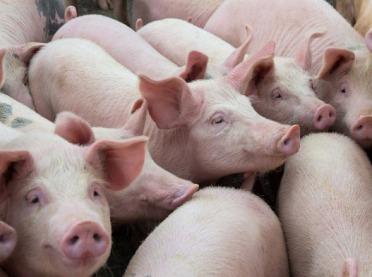 LIR alarmuje: bardzo niskie ceny żywca wieprzowego