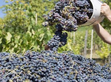 Dobre zbiory winogron, ale liczne trudności przez COVID-19