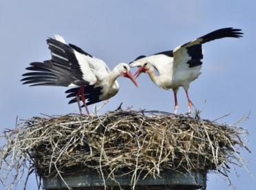 Zbadali bocianie gniazda - wyniki zaskakują!