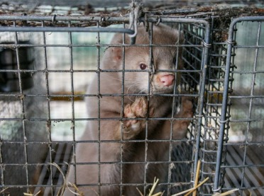 Czy to koniec hodowli zwierząt w klatkach?