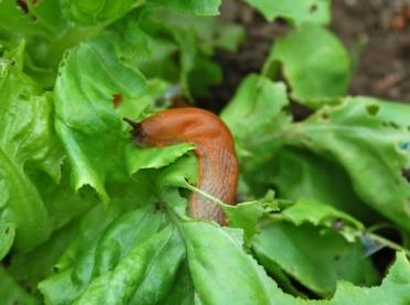 Jak zwalczać ślimaki?