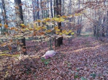 Świnia podłożona w lesie